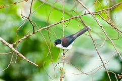 Σκοτεινός-υποστηριγμένο πουλί Sibia με το πράσινο υπόβαθρο Στοκ Φωτογραφία