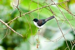 Σκοτεινός-υποστηριγμένο πουλί Sibia με το πράσινο υπόβαθρο Στοκ εικόνες με δικαίωμα ελεύθερης χρήσης