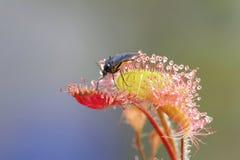 Σκοτεινός-φτερωτό Gnat μυκήτων ως θήραμα του κοινού sundew Στοκ εικόνα με δικαίωμα ελεύθερης χρήσης