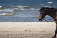 Σκοτεινό άλογο που περπατά στην παραλία με την άμμο και τη θάλασσα στοκ εικόνα με δικαίωμα ελεύθερης χρήσης