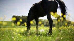 Σκοτεινό άλογο στον τομέα χλόης λουλουδιών το καλοκαίρι που τρώει και που απολαμβάνει απόθεμα βίντεο