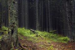 Σκοτεινό δάσος βουνών με τα πεύκα και τα έλατα, φτέρες και χλόη, πορεία και κούτσουρο Στοκ Εικόνες