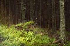 Σκοτεινό δάσος βουνών με τα πεύκα και τα έλατα, φτέρες και χλόη στο πρώτο πλάνο, την πορεία και το κούτσουρο Στοκ φωτογραφίες με δικαίωμα ελεύθερης χρήσης