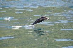 Σκοτεινό άλμα δελφινιών Στοκ Εικόνες