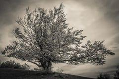 Σκοτεινό δέντρο οξιών Στοκ Φωτογραφίες