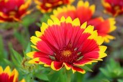 Σκοτεινό δίχρωμο λουλούδι Gaillardia Aristata Gallo λουλουδιών Στοκ εικόνα με δικαίωμα ελεύθερης χρήσης