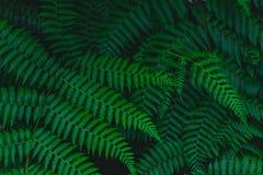 Σκοτεινό βοτανικό τροπικό εξασθενισμένο φτέρη φύλλο υποβάθρου στοκ φωτογραφία με δικαίωμα ελεύθερης χρήσης
