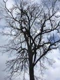 Σκοτεινό δέντρο, μπλε ουρανός φθινόπωρο νωρίς Στοκ εικόνα με δικαίωμα ελεύθερης χρήσης