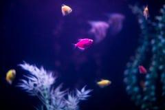 Σκοτεινό ενυδρείο με τα μέρη των μικρών ψαριών Ornatus στο σκοτάδι aquar Στοκ εικόνα με δικαίωμα ελεύθερης χρήσης