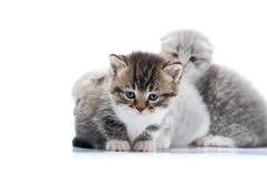 Σκοτεινό καφετί νεογέννητο γατάκι με τα μπλε μάτια που είναι ανήσυχα θέτοντας για ένα photoset στο άσπρο στούντιο, άλλα που μέσα Στοκ εικόνες με δικαίωμα ελεύθερης χρήσης