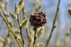 Σκοτεινό καφετί ξηρό λουλούδι μεταξύ των ανθίζοντας θάμνων ιτιών στοκ εικόνα με δικαίωμα ελεύθερης χρήσης