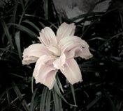 Σκοτεινό λουλούδι κρίνων Στοκ Εικόνες