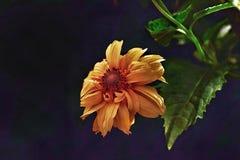 σκοτεινό λουλούδι Στοκ Εικόνες