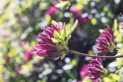 Σκοτεινό ρόδινο rhododendron Στοκ εικόνα με δικαίωμα ελεύθερης χρήσης