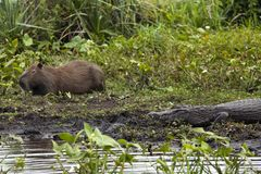 Σκοτεινό σαν αλλιγάτορας Caiman yacare και αρσενικό Capybara Esteros del Ibera, Αργεντινή Ζέσταμα στον ήλιο πρωινού στοκ φωτογραφία με δικαίωμα ελεύθερης χρήσης