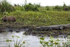 Σκοτεινό σαν αλλιγάτορας Caiman yacare και αρσενικό Capybara Esteros del Ibera, Αργεντινή στοκ εικόνες