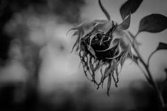 Σκοτεινό στενό επάνω υπόβαθρο ηλίανθων Στοκ φωτογραφίες με δικαίωμα ελεύθερης χρήσης