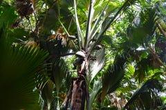 Σκοτεινό τροπικό δάσος Valley de Mai του νησιού Praslin στις Σεϋχέλλες στοκ φωτογραφίες