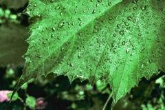 Σκοτεινό φυσικό υπόβαθρο με τις πτώσεις βροχής στην πράσινη κινηματογράφηση σε πρώτο πλάνο φύλλων σταφυλιών Στοκ φωτογραφία με δικαίωμα ελεύθερης χρήσης