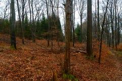 Σκοτεινό χειμερινό δάσος με τα κόκκινα φύλλα στο έδαφος Στοκ φωτογραφία με δικαίωμα ελεύθερης χρήσης