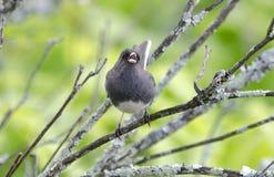 Σκοτεινό Eyed πουλιών Junco Στοκ Φωτογραφίες