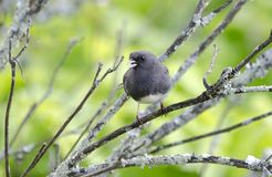 Σκοτεινό Eyed πουλιών Junco Στοκ Εικόνες