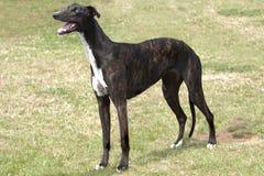 Σκοτεινό greyhound brindle που στέκεται στην τραχιά χλόη Στοκ Φωτογραφίες
