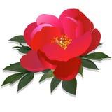 σκοτεινό peony ροζ διανυσματική απεικόνιση