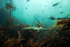 Σκοτεινό shyshark, pictus haploblepharus, καρχαρίας καπνιστών, Νότια Αφρική Στοκ Φωτογραφίες