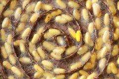 σκουλήκια μεταξιού Στοκ φωτογραφία με δικαίωμα ελεύθερης χρήσης