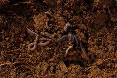 Σκουλήκια στο χώμα Στοκ Εικόνα