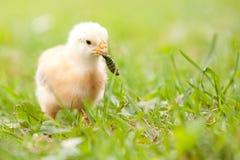 σκουλήκι νεοσσών Στοκ Φωτογραφίες