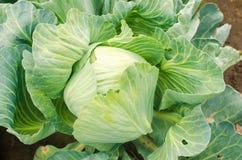 Σκουλήκι - παράσιτο του λάχανου ασθένεια των λαχανικών στον τομέα εχθρικός αγρότης - κάμπια Καλλιέργεια, γεωργία κλείστε επάνω στοκ εικόνα