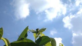 Σκουλήκι στο φύλλο με το μπλε ουρανό απόθεμα βίντεο