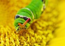 Σκουλήκι Swallowtail στο κίτρινο λουλούδι Στοκ εικόνα με δικαίωμα ελεύθερης χρήσης