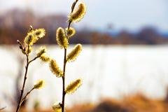 Σκουλαρίκι ιτιών catkin στο υπόβαθρο του ποταμού Ιτιά Flowering_ στοκ φωτογραφία