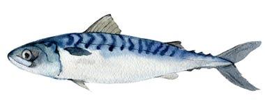 Σκουμπρί που απομονώνεται στο λευκό, απεικόνιση watercolor απεικόνιση αποθεμάτων