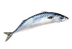 σκουμπρί ψαριών στοκ φωτογραφίες
