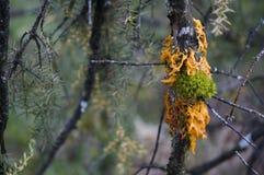 Σκουριά κέδρος-Apple στον κλάδο ενός δέντρου ιουνιπέρων Στοκ Εικόνες