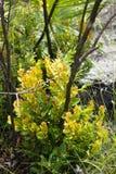 Σκουριασμένα Lyonia & x28 Lyonia ferruginea& x29  στοκ εικόνες με δικαίωμα ελεύθερης χρήσης