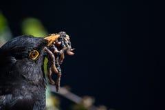 σκουλήκια κοτσύφων Στοκ Φωτογραφία
