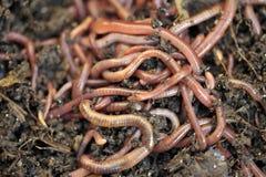 Σκουλήκια Στοκ Φωτογραφία