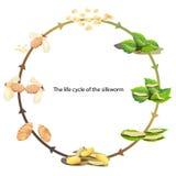 Σκουλήκι μεταξιού κύκλων ζωής διανυσματική απεικόνιση