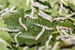 Σκουλήκι μεταξιού που τρώει το πράσινο φύλλο μουριών Στοκ Εικόνες