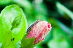 Σκουλήκι πεταλούδων ρόδινα hibiscus με ένα υπόβαθρο θαμπάδων Στοκ φωτογραφία με δικαίωμα ελεύθερης χρήσης
