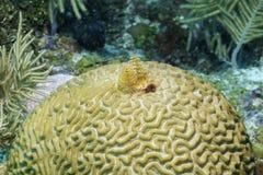 Σκουλήκι χριστουγεννιάτικων δέντρων στο κοράλλι εγκεφάλου Στοκ φωτογραφίες με δικαίωμα ελεύθερης χρήσης