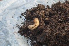 Σκουλήκι Xylotrupes Gideon Στοκ φωτογραφία με δικαίωμα ελεύθερης χρήσης