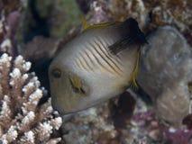 Σκούπα filefish στοκ εικόνες