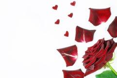 Σκούρο κόκκινο αυξήθηκε με τα πέταλα και τις μικρές μορφές καρδιών σε ένα άσπρο υπόβαθρο Στοκ Εικόνες
