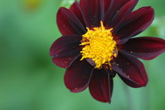 Σκούρο κόκκινο λουλούδι νταλιών Στοκ φωτογραφίες με δικαίωμα ελεύθερης χρήσης